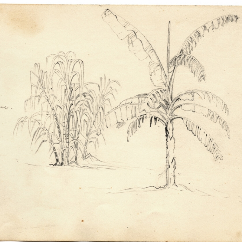 An old drawing of a sugarcane plant
