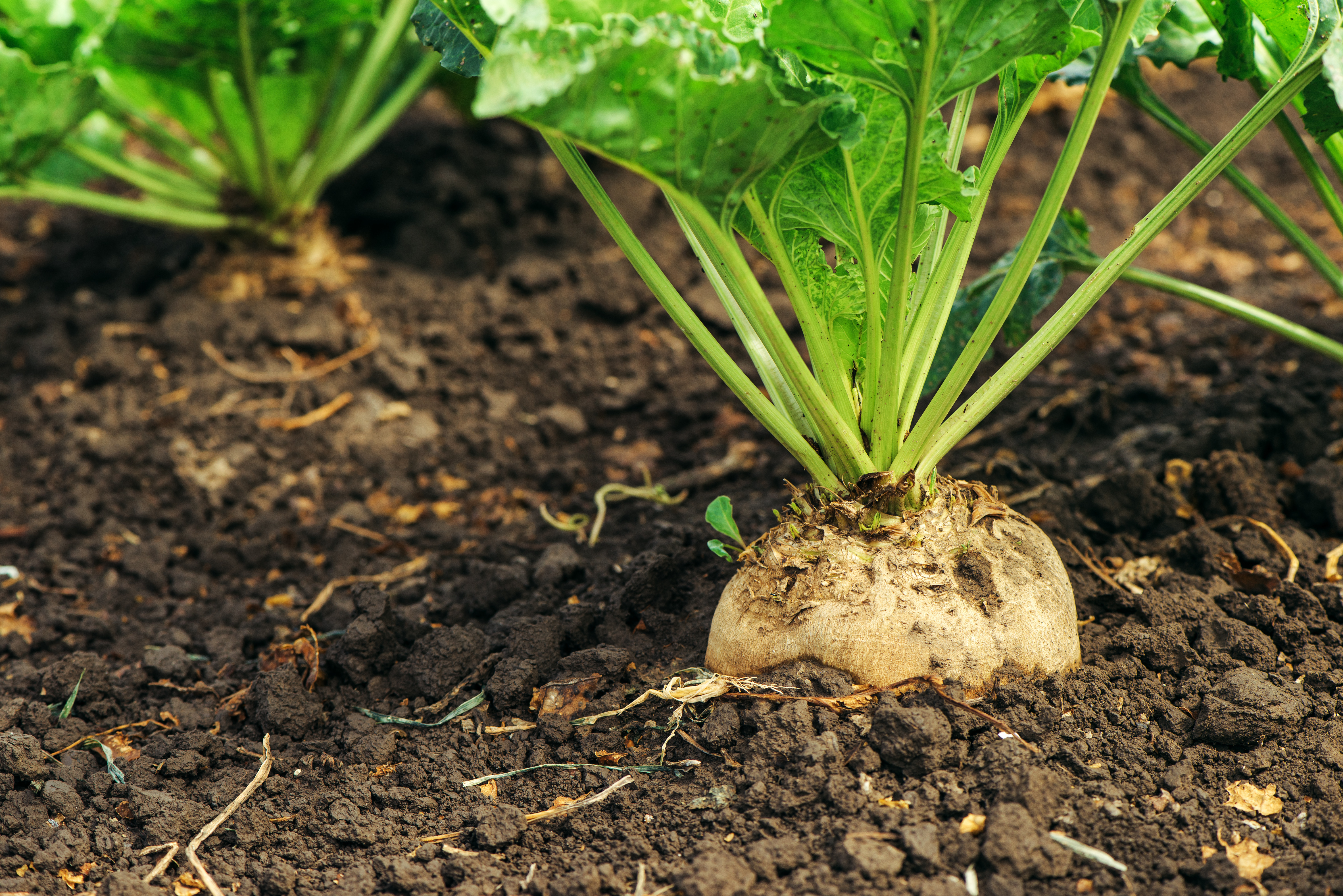 Sugar beet growing in a field